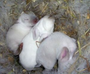 Rabbits New Zealand Whites California Crossed Meat Rabbits