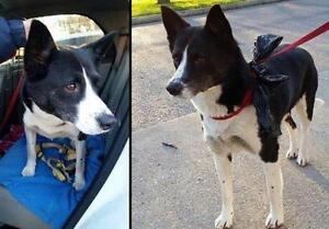 "Adult Female Dog - Border Collie: ""Hope"""