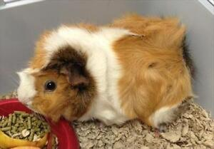 "Adult Female Small & Furry - Guinea Pig: ""Daffodil"""