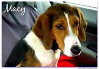 """Young Female Dog - Treeing Walker Coonhound-Hound: """"Macy"""""""