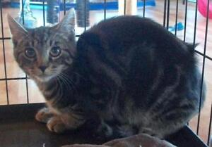 """Young Male Cat - Domestic Short Hair-Tabby: """"Dickson"""""""