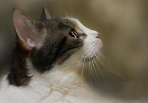"""Adult Male Cat - Domestic Short Hair: """"Wapi-Whoopie"""""""