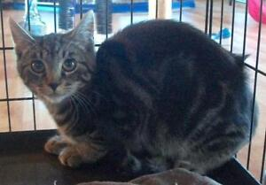 "Young Male Cat - Domestic Short Hair-Tabby: ""Dickson"""