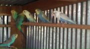 Budgies  Mount Gambier Grant Area Preview
