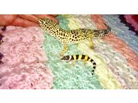 Large male leopard gecko