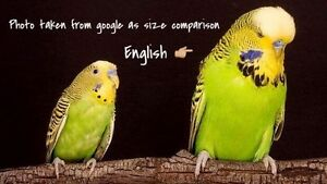 I'm looking for an English Budgie