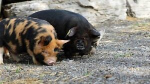 Looking for KuneKune or Potbelly piglets