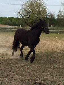 Two Exceptional Mares Available Kitchener / Waterloo Kitchener Area image 2