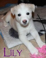 8 weeks old - Husky Mix - Lily