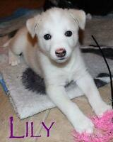 "Baby Female Dog - Husky: ""Lily"""