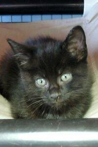 "Young Female Cat - Domestic Short Hair: ""Hettie"""
