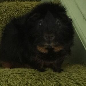 Looking to Adopt a Guinea Pig