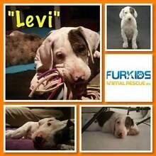 Furkids Animal Rescue Inc - Adoption - Levi - Great Dane Mix Daisy Hill Logan Area Preview