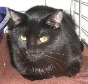 """Adult Female Cat - Domestic Short Hair: """"Erie 12 (PN unknown)"""" London Ontario image 3"""