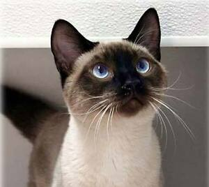 BEAUTIFUL SEAL POINT SIAMESE KITTY hoping to find a loving home