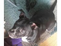 staffy cross dog free to good home good with children