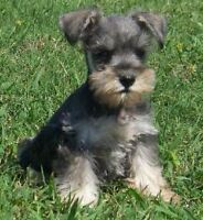 LOOKING FOR--- SCHNAUZER PUPPY