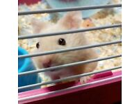 Male Syrian Hamster and cage plus accessories