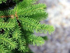 Spruce, Pine, Fir, and Larch Tree Seedlings - 1-2 yrs Old - Several Varieties on Sale! - Big Discounts - Free Shipping!