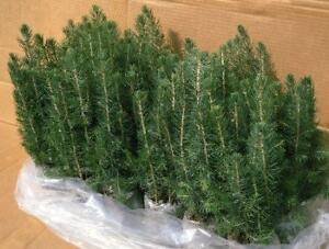 Shelterbelt and Windbreak Tree Seedlings - 40 species - 1-2 yrs Old - Massive Tree Sale - Huge Discounts. Free Shipping!