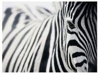 Huge ikea PJATTERYD - Picture, zebra - 78x118 cm