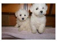 Bichon frise puppies ready now
