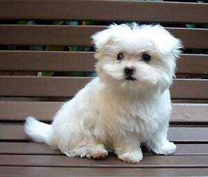 WANTED: TOY MALTESE PUPPY Five Dock Canada Bay Area Preview