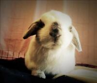 "Young Male Rabbit - Mini-Lop: ""Ralph"""