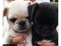 Stunning Kc reg pug puppies. Ready now!