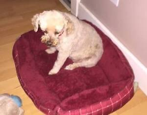 **Sweet Babe - POODLE cross is available for adoption****