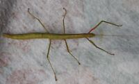 10 Indian Stick Bugs