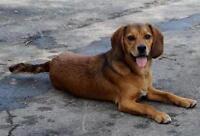 """Young Male Dog - Beagle-Labrador Retriever: """"Bronco"""""""