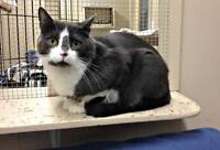 """Young Male Cat - Domestic Short Hair - gray and white: """"Skeeter"""""""
