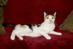 "Young Female Cat - Calico: ""Cali"""