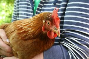 Young Hens for Sale