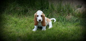 CKC REGISTERED BASSET HOUND PUPS - CHAMPION LINES