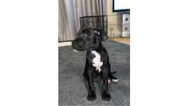 Reduced Price Staffordshire Bull Terrier Puppy In Leicester Forest East Leicestershire Gumtree
