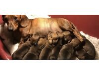 Dachshund puppies KC reg, PRA clear