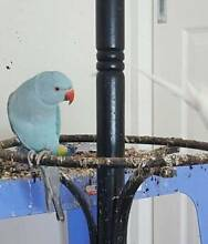 Pastel Blue Inidian Ringneck Male Craigieburn Hume Area Preview