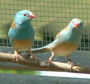 Blue-Capped Waxbill Finches - PAIR ( 2 x Birds ) Epping Ryde Area Preview