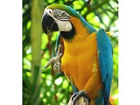 Macaw gold and blue