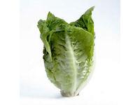 Lettuce - Little Gem – Tray of 20 for £1.00