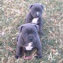 Purebred blue Amstaff pup wanted Armadale Armadale Area Preview