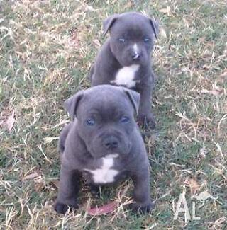 Looking for a Blue American Staffy Altona Meadows Hobsons Bay Area Preview
