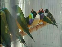 HIGH & STRONG QUALITY Female Rainbow Gouldian Finch Birds [£40] For Sale + Cages From £20
