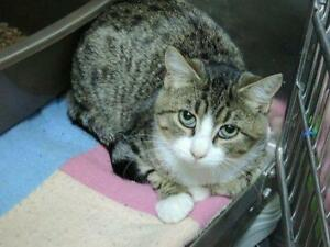 "Young Male Cat - Domestic Short Hair: ""Juan"""