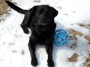 "Adult Male Dog - Labrador Retriever: ""Smitty"""