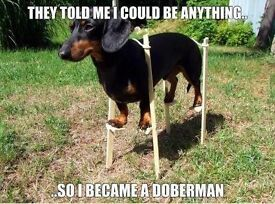 Forever home waiting for miniature dachshund