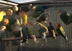 Budgie love Birds Kakarikis conures Tamworth Tamworth City Preview