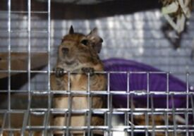 2 Degus and cage, toys and food.